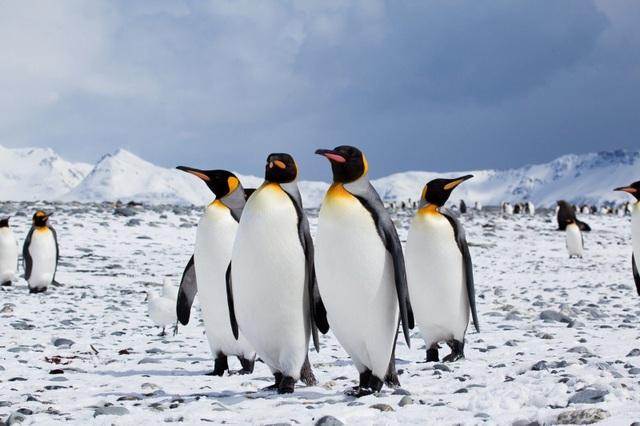 Chim cánh cụt vua.