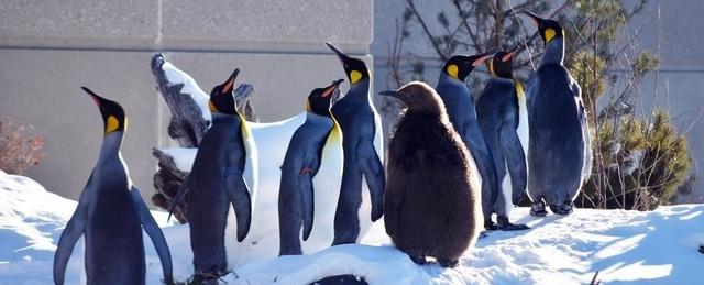 Canada lạnh đến nỗi phải đưa chim cánh cụt vào trong nhà - 1