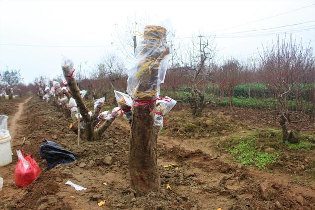 Những gốc đào rừng mới được chuyển về để ghép với cành đào Nhật Tân cho dịp Tết 2-3 năm sau. (Ảnh: Hồng Vân)