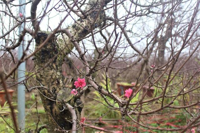 Những bông hoa nở sớm trên cây đào ghép. (Ảnh: Hồng Vân)