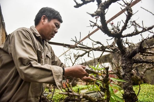 Năm nay vườn nhà anh Hàm có khoảng 100 gốc đào thất thốn, trong đó những gốc đẹp phần lớn đã có người đến thuê