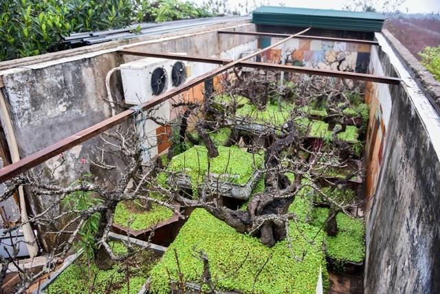 Để đào nở đúng dịp Tết, nhiều chủ vườn phải lắp điều hoa và chăm sóc cây theo chế độ đặc biêt.