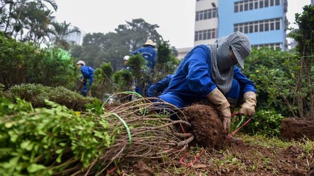 Ngày 5/1, những cây xanh đầu tiên trên dải phân cách đường Nguyễn Chí Thanh được công nhân Công ty TNHH MTV Công viên canh xanh Hà Nội di dời.