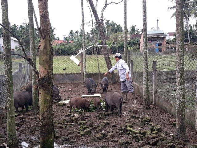 Quảng Ngãi: Kiếm hàng trăm triệu đồng từ nuôi heo rừng bán dịp Tết - 4