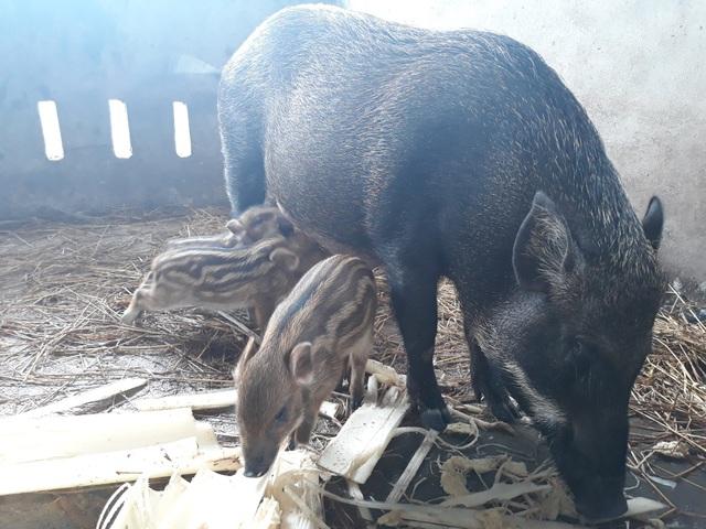 Được nuôi theo kiểu thả rông và cho ăn các loại thức ăn tự nhiên nên chất lượng thịt được đảm bảo khiến heo rừng lai hút khách đặt hàng cho dịp Tết Nguyên đán 2018