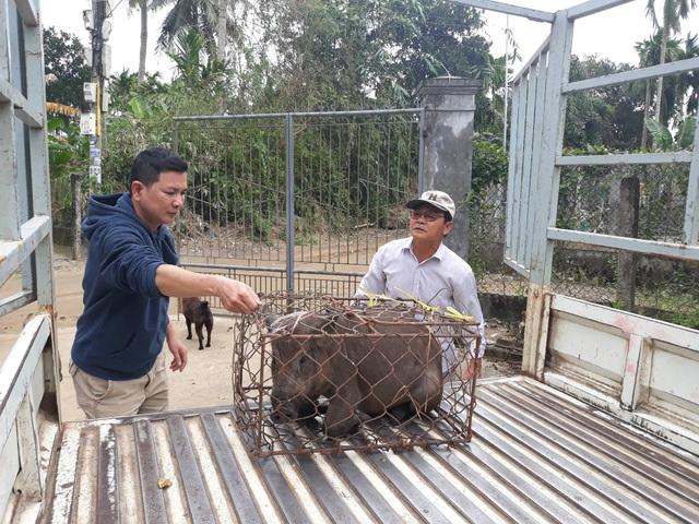 Mới đầu tháng Chạp nhưng số heo rừng lai đủ chuẩn xuất chuồng đã được khách đặt hàng gần hết