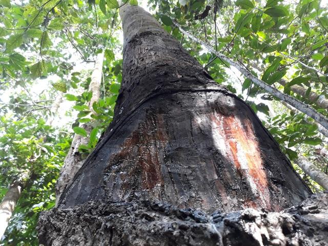 Quảng Ngãi: Độc đáo nghề cạo nhựa dầu rái - 5