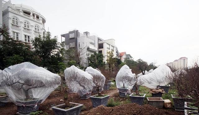 Còn khoảng một tháng nữa là tới Tết Nguyên đán, thời tiết Hà Nội những ngày này chuyển rét đậm. Để hoa đào có thể nở đúng dịp Tết, các chủ vườn ở Nhật Tân (Hà Nội) phải tìm mọi cách chống rét cho đào.