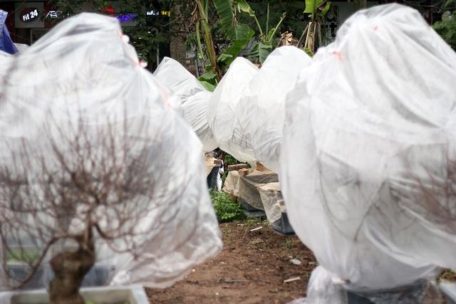 Để chống lại thời tiết giá lạnh, nhiều chủ vườn phải dùng nilong để bao bố xung quanh cây. Cách làm này tốn công nhưng bù lại, có thể giữ cây đào khá an toàn trước thời tiết khắc nghiệt.