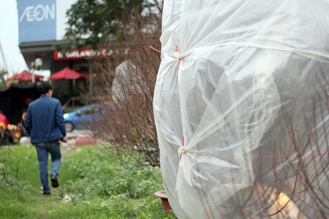 """Ngoài """"mặc áo"""" cho cây đào bằng túi nilong, bóng điện cũng được thắp bên trong để vừa giữ ấm, vừa kích đào ra nụ, nở hoa."""