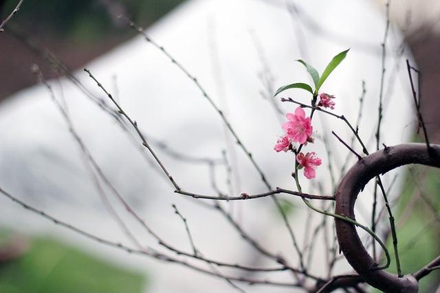 Đã có cây dào nở điểm vài bông hoa rất đẹp.