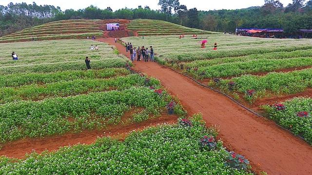 Vườn hoa tam giác mạch gần 2 ha hoa tam giác mạch được trồng ở gần đập sông Sào thuộc xóm Bình Hải, xã Nghĩa Bình, huyện Nghĩa Đàn do gia đình anh Lê Sỹ Định tự trồng vào cuối tháng 10/2017.