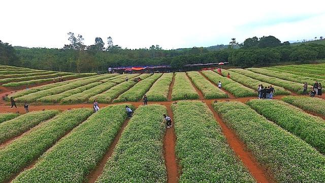 Chiêm ngưỡng vườn hoa Tam giác mạch đầu tiên ở xứ Nghệ - 5