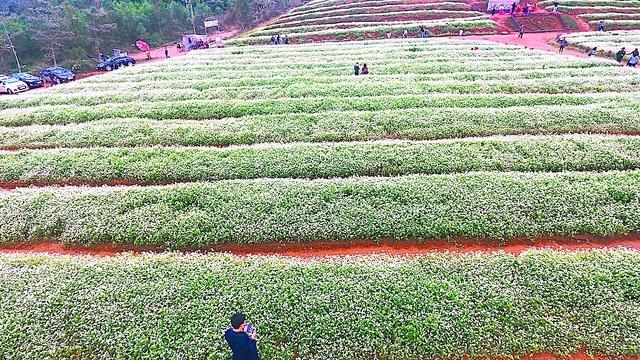 Chiêm ngưỡng vườn hoa Tam giác mạch đầu tiên ở xứ Nghệ - 4