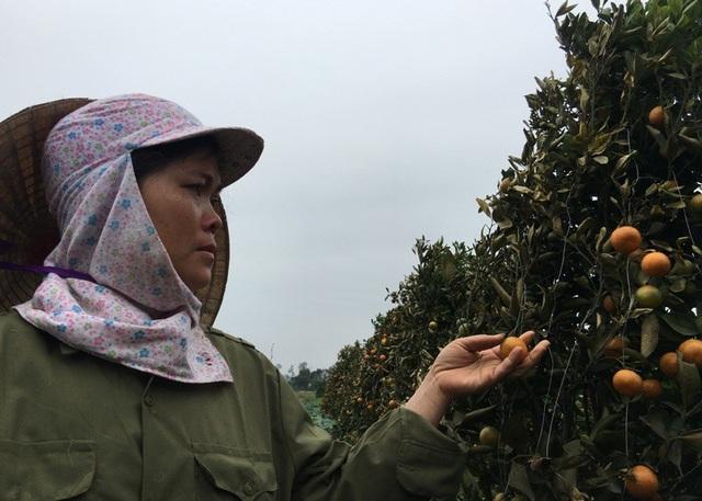 Chị Nguyễn Thị Lụa, thôn 7, xã Hợp Tiến, huyện Triệu Sơn rơi nước mắt nhìn vườn quất đến kỳ thu hoạch của gia đình bị tàn phá