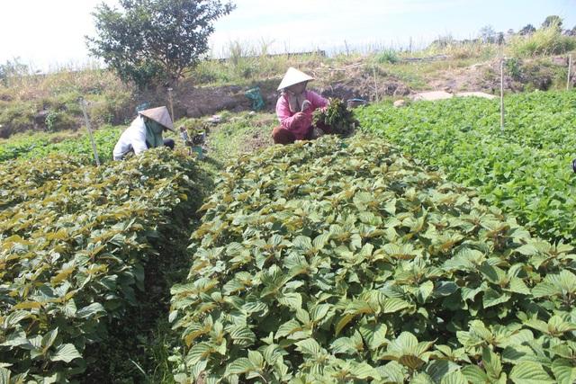 Ngoài việc mang lại thu nhập cao cho gia đình, vườn rau của vợ chồng anh Minh còn tạo công ăn việc làm cho nhiều lao động ở địa phương