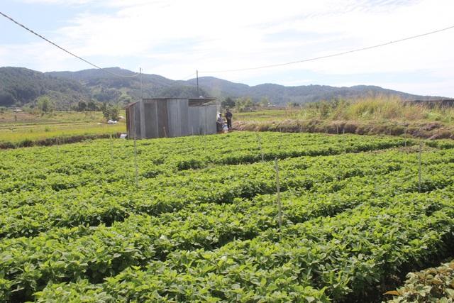 Gia đình anh Minh chủ yếu trồng rau thơm các loại như: diếp cá, kinh giới, tía tô