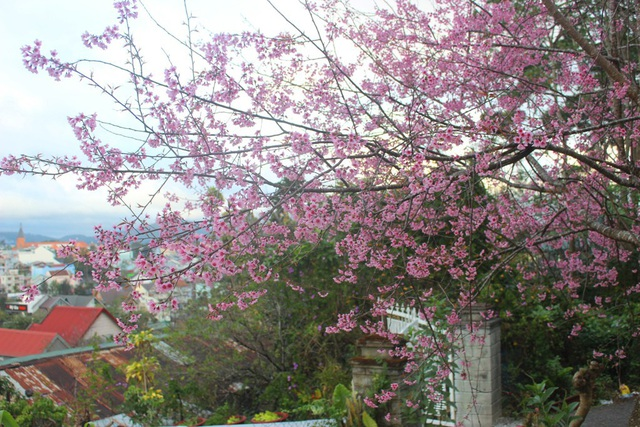 Mai anh đào Đà Lạt bung nở rực hồng phố núi - 15