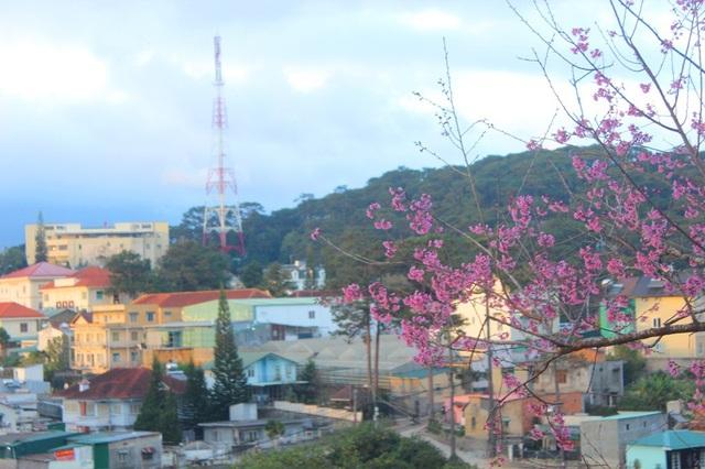 Mai anh đào Đà Lạt bung nở rực hồng phố núi - 16
