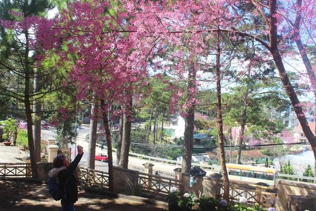 Mai anh đào Đà Lạt bung nở rực hồng phố núi - 12