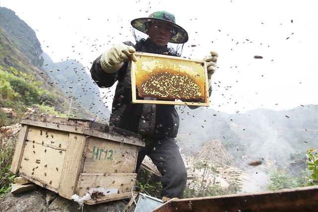 Tổ ong khi đặt cố định tại nơi có hoa sau khoảng 3 tuần là có thể thu hoạch mật. Khi khai thác, người nuôi dùng củi, hoặc thiết bị tạo khói để khiến ong ra khỏi tổ thuận tiện cho việc khai thác.