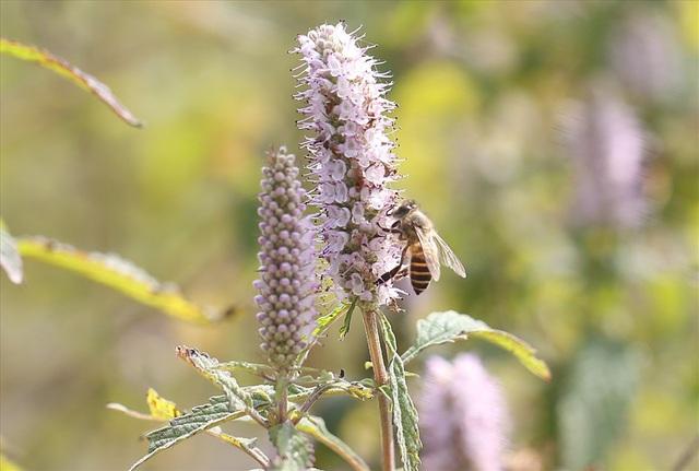 Hoa bạc hà là loài hoa dại mọc khắp vùng cao nguyên đá. Hoa bắt đầu nở rộ vào tháng 10 hằng năm và tàn hết cuối tháng 12.