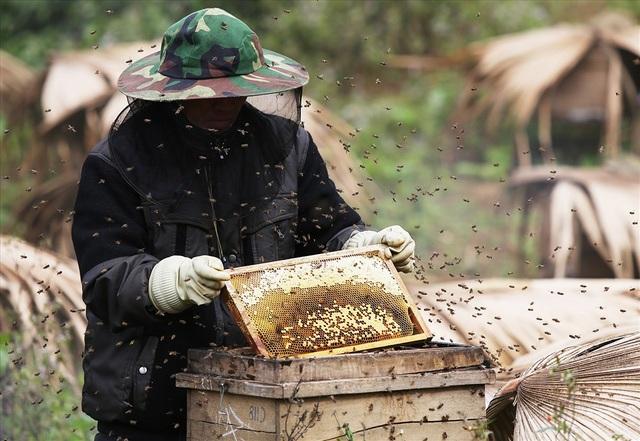 Mỗi tổ ong có 5 cầu ong, một phần là nơi nuôi nhộng, một phần là nơi sản xuất mật. Một lần khai thác có thể cho hơn 1 lít mật.