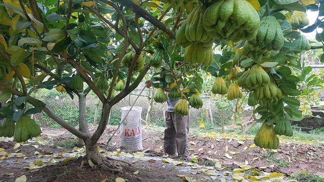 Cây phật thủ bắt đầu cho thu hoạch quả từ năm thứ 2. Với những cây thường xuyên ra nhiều quả, quả đẹp mà đánh bán cả cây thì sẽ lãng phí, kể cả khi có mang cây đó trồng lại thì cũng không có hiệu quả về sản lượng cũng như chất lượng.
