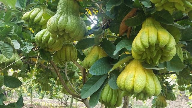 Một cây phật thủ có thể cho từ 70 đến 100 quả. Nhiều người ngỏ ý muốn mua cả cây trong vườn của ông Cải về chơi Tết. Mỗi cây phật thủ đánh cả gốc sẽ có giá trên dưới 20 triệu đồng.