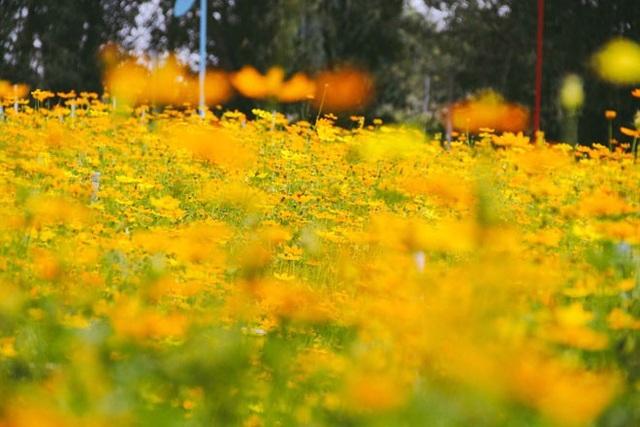 Không thể tin nổi giữa Sài Gòn có cánh đồng hoa đẹp đến thế! - 4