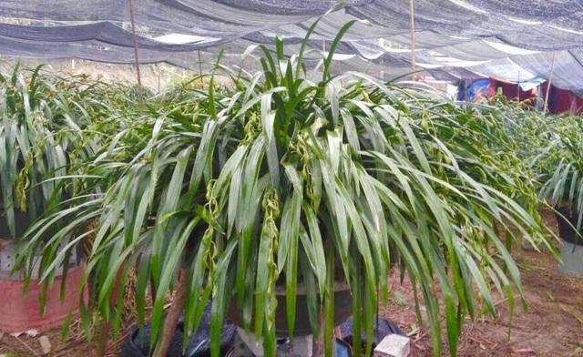 Hiện riêng địa bàn xã Tả Phìn (Sa Pa) đã có khoảng 500 hộ trồng địa lan. Ảnh: I.T