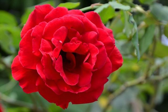 Từ hồng màu đỏ... (Ảnh: Lục Tùng)