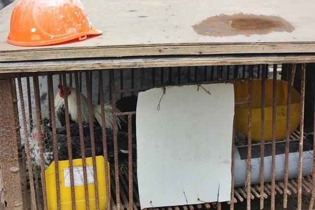 Anh Nguyễn Vinh (SN 1986) - một công nhân trong khu lán tạm chia sẻ, để tăng cường những bữa cơm có thịt, các công nhân ở đây phải nuôi thêm gà và vịt.