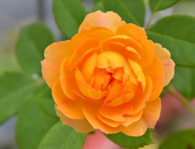 Đến hồng màu vàng (Ảnh: Lục Tùng)