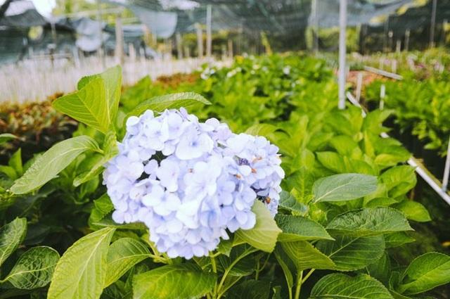 Không thể tin nổi giữa Sài Gòn có cánh đồng hoa đẹp đến thế! - 12