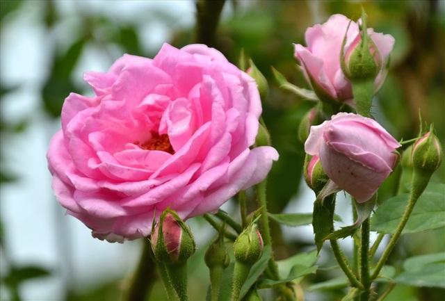 Cho đến hồng màu phớt hồng. (Ảnh: Lục Tùng)