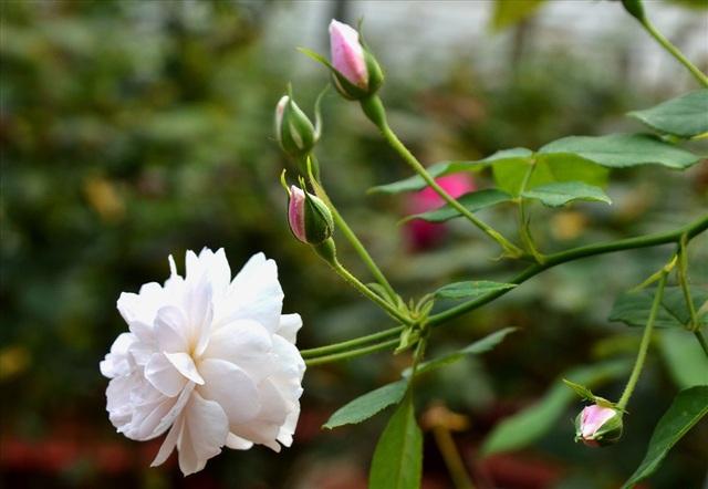 Cho đến hồng màu trắng. (Ảnh: Lục Tùng)