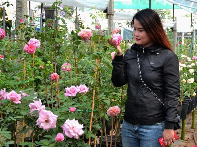 Đặc biệt là dù màu gì, tất cả loại hồng ở đây đều cho hoa có mùi thơm quyến rũ. (Ảnh: Lục Tùng)