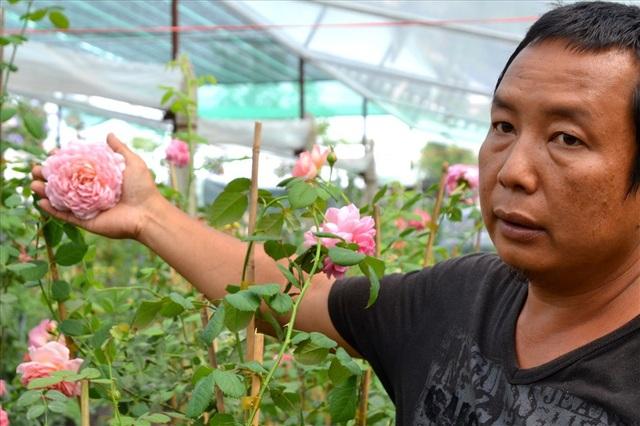 Hoa to bằng bàn tay ông chủ vườn. (Ảnh: Lục Tùng)