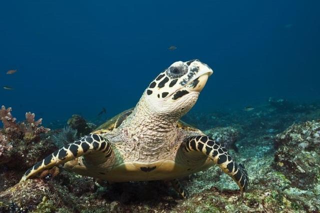 Rùa biển Hawksbill. Ảnh: Prisma Bildagentur/Getty Images