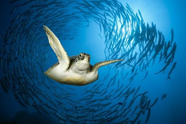 Một con rùa biển xanh trong Biển Đỏ. Ảnh: Reinhard Dirscherl/Getty Images