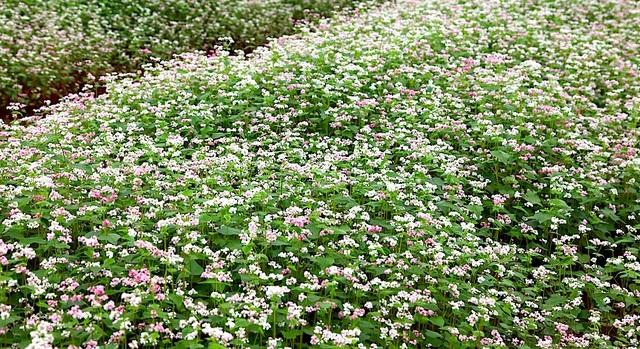 Chiêm ngưỡng vườn hoa Tam giác mạch đầu tiên ở xứ Nghệ - 13