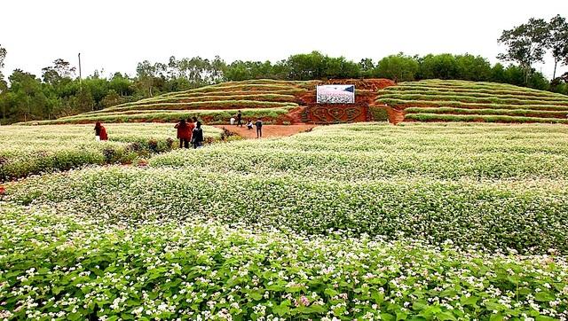 Chiêm ngưỡng vườn hoa Tam giác mạch đầu tiên ở xứ Nghệ - 12