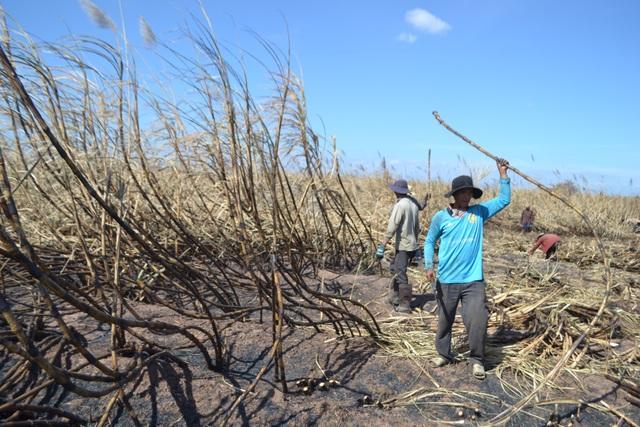 Dân xót xa vì mía bị cháy hàng loạt và rớt giá thảm hại