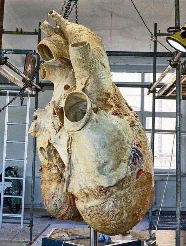 Trong ảnh chính là trái tim của loài động vật lớn nhất thế giới ở thời điểm hiện tại, cá voi xanh. Được biết, tương ứng với trái tim khổng lồ này, động mạch của chúng cũng lớn đến mức một người lớn có thể bơi trong đó.