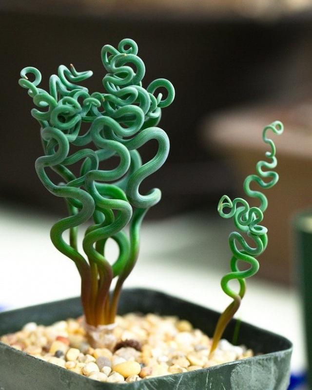 Những xúc tu màu xanh mà chúng ta thấy trong ảnh thực chất lại là một loại cây cảnh trong nhà có tên Trachyandra.