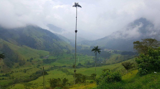 Cây cau cao nhất thế giới ở thời điểm hiện tại.