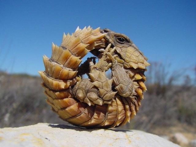 Tư thế phòng thủ bất khả xâm phạm của Cordylus cataphractus, một loài kỳ nhông sống ở Nam Mỹ.