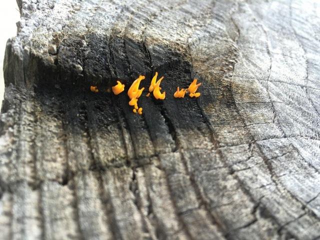Chắc hẳn không ít người sẽ lầm tưởng những cây nấm trong ảnh là một ngọn lửa.