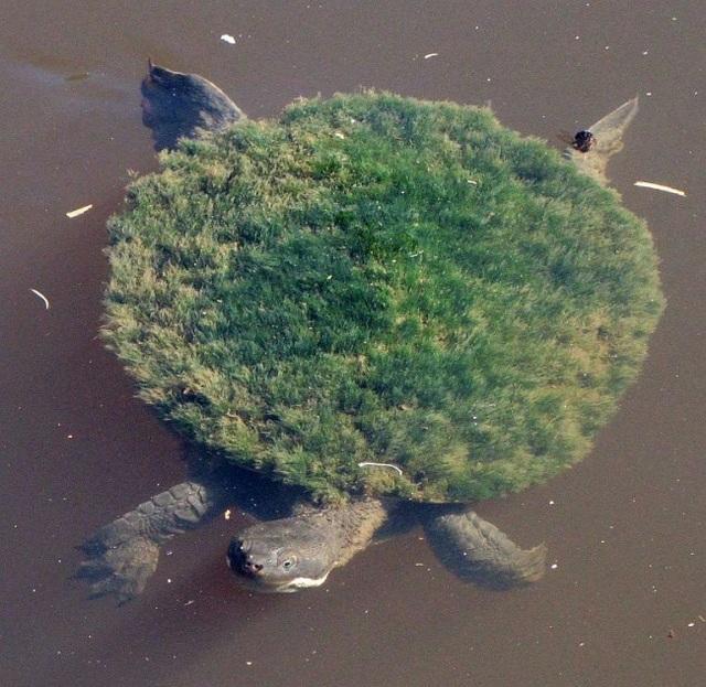 Chú rùa với chiếc mai bị rêu phủ kín.